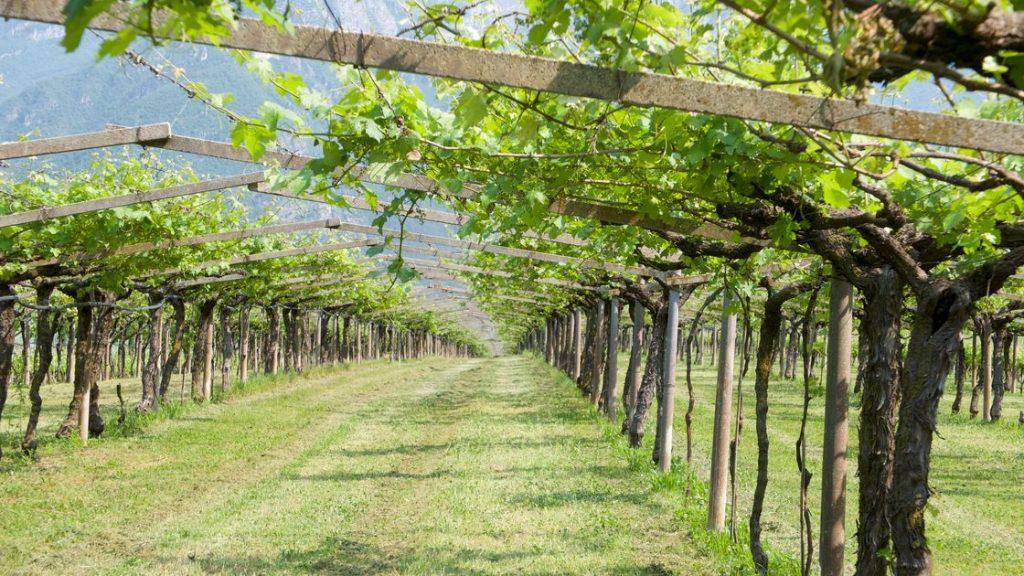 pergola-tenuta-san-leonardo-vinbanken-pergola-carmenere copy