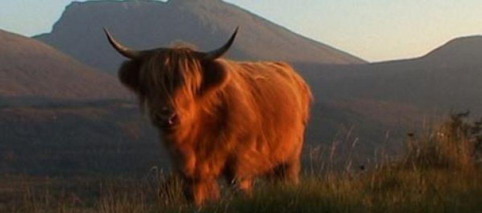 highland_cow_on_hill.jpg