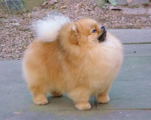 Pomeranian puppies / puppy / dog / dogs - Vivadoo