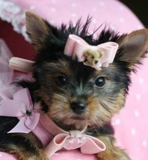 Other Goods in Bab Maraa - Super Tiny Teacup Yorkie Puppies Available