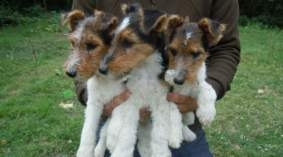 Pedigree Wirehaired Fox Terrier Puppies For Sale In Beirut Vivadoo
