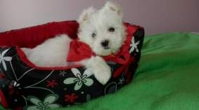 mini teacup maltese puppies for sale | Beirut