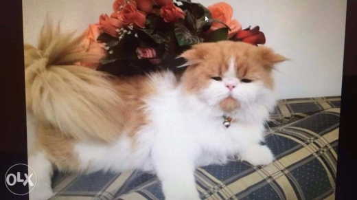 Cats in Achrafieh - Needs female for mating to my male persian cat