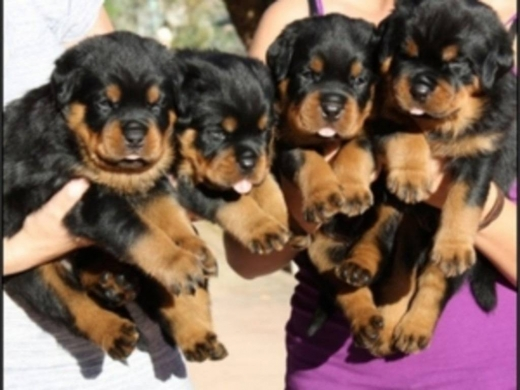Dogs in Majd el-Balhis - Lovely male and female Rottweiler Puppies