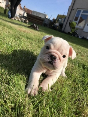 Dogs in Clemenceau - cute english bulldog puppies
