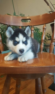 Drummer in Aita el-Zot - Male and Female Siberian Husky Puppies for Sale