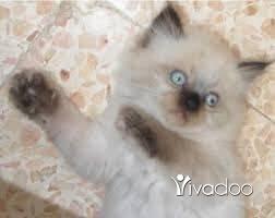 قطط في طرابلس - cat for sell