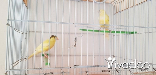 Birds in Antelias - canary
