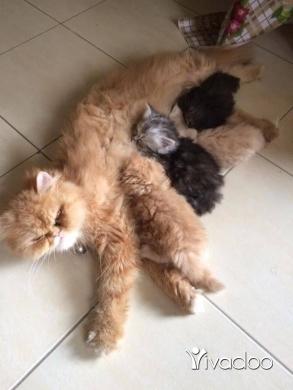 Cats in Dahr el-Ain - للبيع اربع قطط فارسيه للبيع