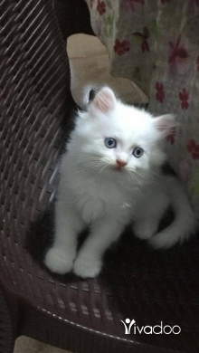 Cats in Tripoli - For Sale Shirazi