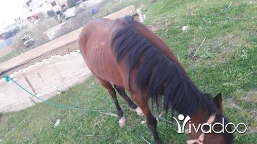 Chevaux et poneys dans Port de Beyrouth - حصان فحل ذكر