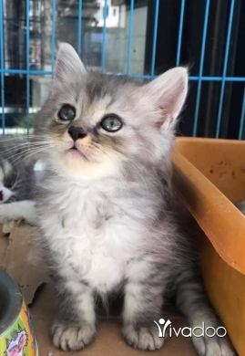 Cats in Tripoli - cats for sell