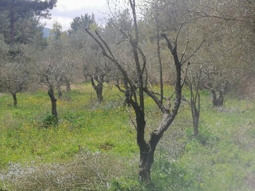 Land in Bet Kessab - للبيع ارض مشجارة زيتون في حردين مساحة الارض 1000 متر