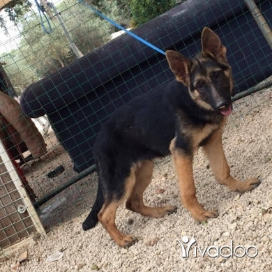 Dogs in Port of Beirut - German shepherd