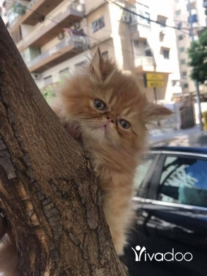 Cats in Tripoli - cat