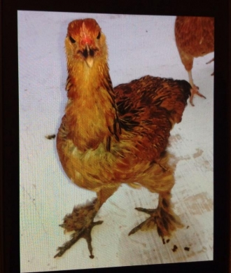 Equipment & Accessories in Mousseitbeh - دجاج بلدي ودجاج عرض للبيع