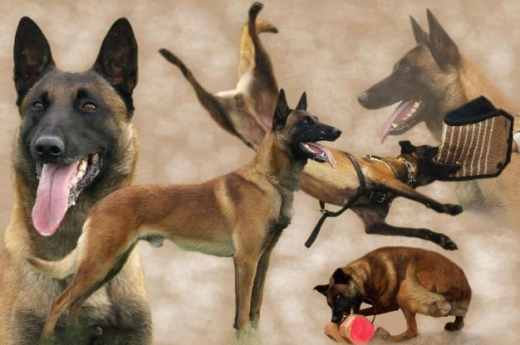 Equipment & Accessories in Chiyah - كلب حراسة من نوع BELGIAN MALINOIS