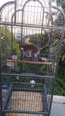 Equipment & Accessories in Abou Samra - قرد من نوع نسناس للبيع مع قفصه Green monkey for Sale with its cage