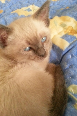 Equipment & Accessories in Ras-Beyrouth - siamese cats for sale