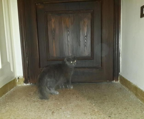Equipment & Accessories in Aramoun - Scottish Fold Longhair Cat for Sale