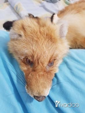 Other Goods in Safra - rreal fox fur