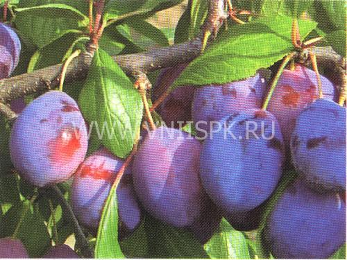 Выращивание и описание самоплодных сортов сливы