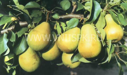 чижовская груша фото
