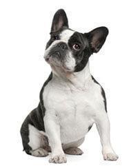 Französische Bulldogge Hunderassen Pedigree