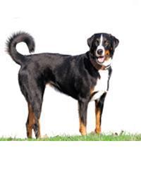 Pedigree® Appenzeller Sennenhund