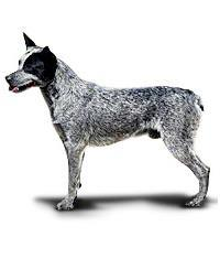 Pedigree® Australian Cattle Dog