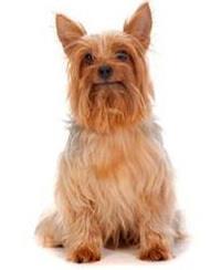 Pedigree® Australian Silky Terrier
