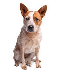 Australischer Treibhund