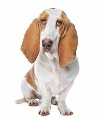 Pedigree® Basset