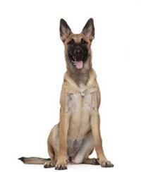 Pedigree® Belgischer Schäferhund