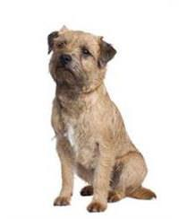 Pedigree® Border Terrier