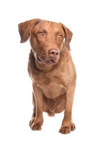 Pedigree® Chesapeake Bay Retriever
