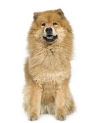 Pedigree® Chow Chow