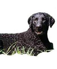 Pedigree® Curly Coated Retriever