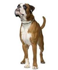 Pedigree® Deutscher Boxer