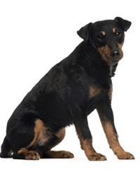 Pedigree® Deutscher Jagdterrier