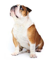Pedigree® Englische Bulldogge