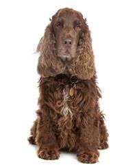 Pedigree® English Cocker Spaniel