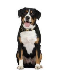 Pedigree® Entlebucher Sennenhund