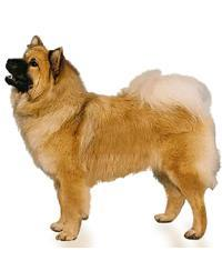Pedigree® Eurasier