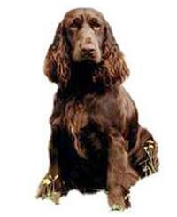 Pedigree® Field Spaniel