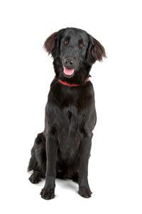 Pedigree® Flat Coated Retriever