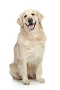 Pedigree® Golden Retriever