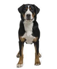 Pedigree® Großer Schweizer Sennenhund