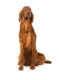 Pedigree® Irish Red Setter