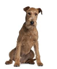Pedigree® Irish Terrier